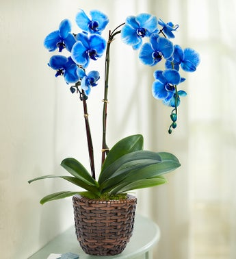 Beautiful Blue Phalaenopsis Orchid